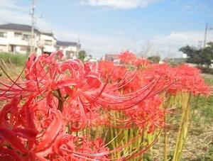 秋色 ヒガンバナ *