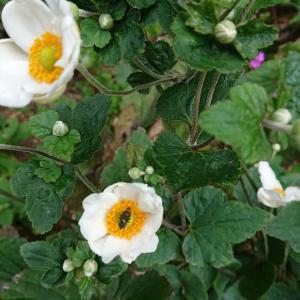 シュウメイ菊が咲きだす