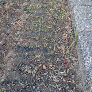 麦の笹の雪芽がでる。