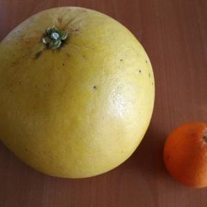 晩白柚(ばんぺいゆ)(●^o^●)