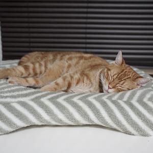 猫ベッドでねんねする猫