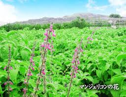 沖縄の薬草  マンジェリコン
