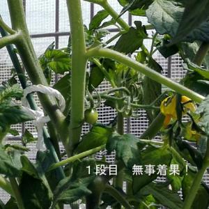 水耕フルティカ 定植から3週間 オクラの育苗