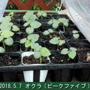水耕フルティカ 5/7レポ オクラ定植準備