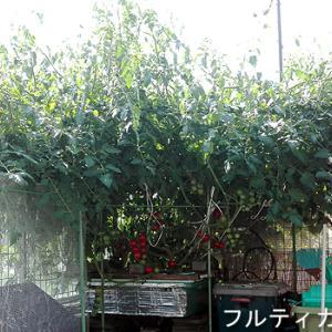 ぼちぼち収穫始まる 2018.6.24