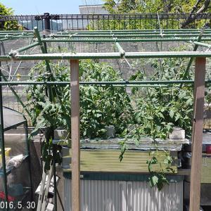 定植から一ヶ月 フルティカ+ぜいたくトマト