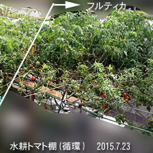 まーだ梅雨明けしません! 菜園レポ7/26