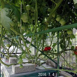循環水耕トマト棚 定植から65日