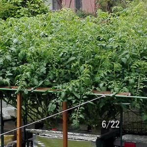豪雨と暴風と トマト定植55日目