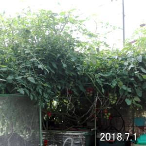 豪雨で実割れ続出 フルティカ&オクラ  2018.7.1