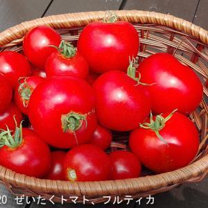 やっぱり盆まで持ちそうもありません 水耕トマト