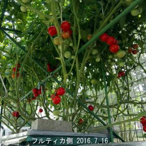 循環水耕トマト棚 定植から78日