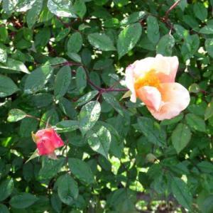 GW帰省 花の庭