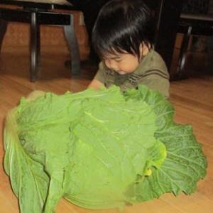 でっかい白菜だね。