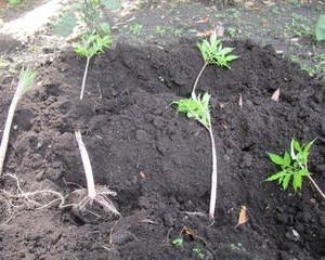 こんにゃく芋の栽培始めたよ~