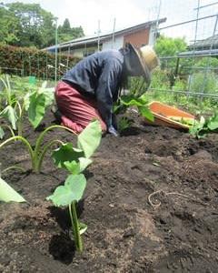 里芋苗植えました