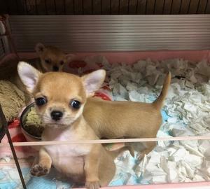 オコジョノ子犬です