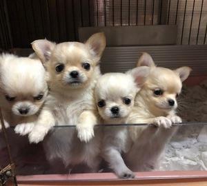 可愛いチワワの子犬達