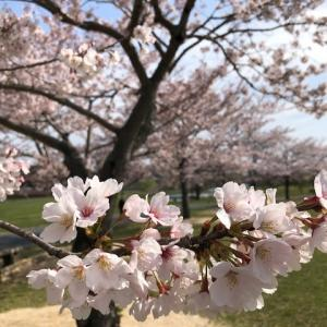 四季の原と千波湖の桜&水戸市ネイル&スクール ネイルズニコ