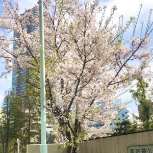 松原「 南池袋公園の桜 」