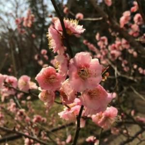 【待ち遠しかった春らんまんな梅・桜】