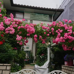 遅咲きの薔薇 6月