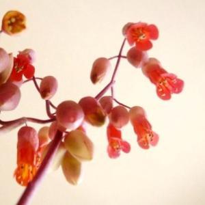 多肉の花〜