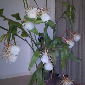 見て見て!月下美人がこんなに咲きました 花自慢の皆さん、どや!!