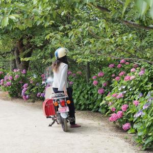 倉敷市の種松山公園へ。あじさいを見に行きました