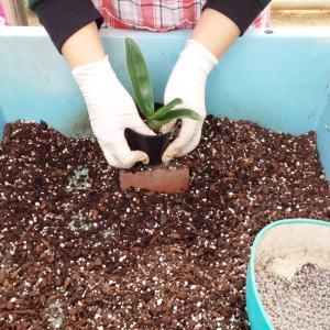パフィオ.整形花の植え替えワンポイント