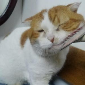 シニア猫ポテトお届け。 シニア猫の譲渡