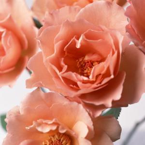 「バラの呟き」
