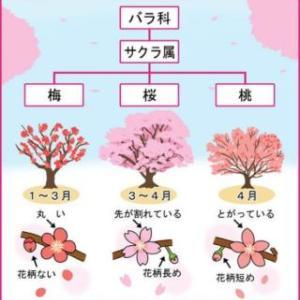 桜と桃と梅の違い