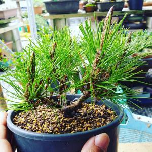 琉球松の取り木