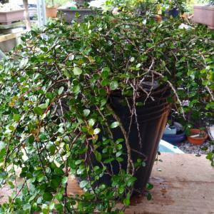 小品盆栽イラブマッコウの植え替え