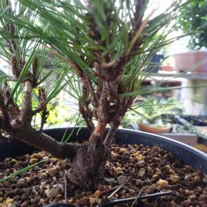 琉球松の取り木、残りの作業