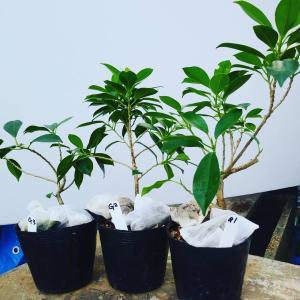 挿し木からガジュマル盆栽を作る過程1