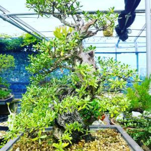 第44回全沖縄盆栽展開催告知!令和3年5月
