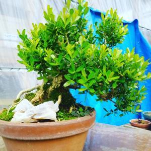 台湾ツゲの根っこ