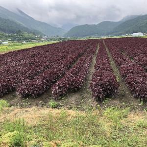 大原の赤紫蘇