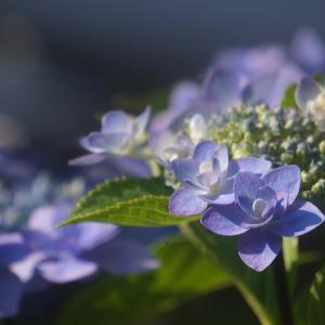 梅仕事と紫陽花〜♡