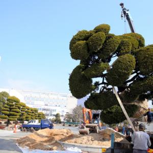 日帝時代の残滓である日本名の樹木を撤去し韓国産の松に植え替える 慶尚南道教育庁