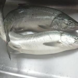 ようやく鮭釣れました