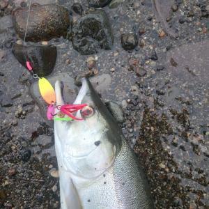 ウトロでカラフトマス釣り
