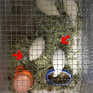 うずらの卵事情