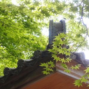 瑞宝寺の楓