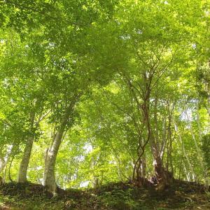 ブナの森へ