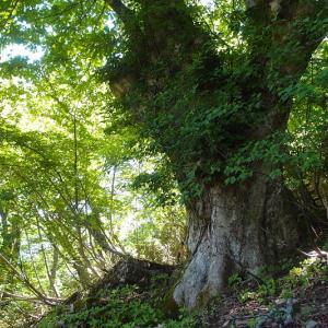 巨樹の条件