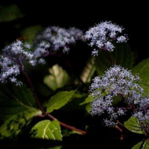 小紫陽花の候
