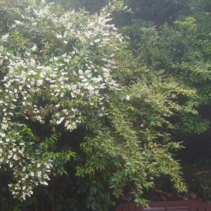 卯の花おぼろ